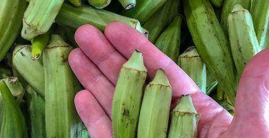 20 Asombrosos beneficios de la quingombó