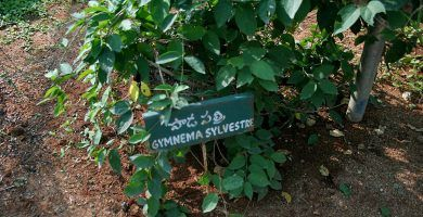 Gymnema Sylvestre reduce los niveles de azúcar en sangre de forma natural 19